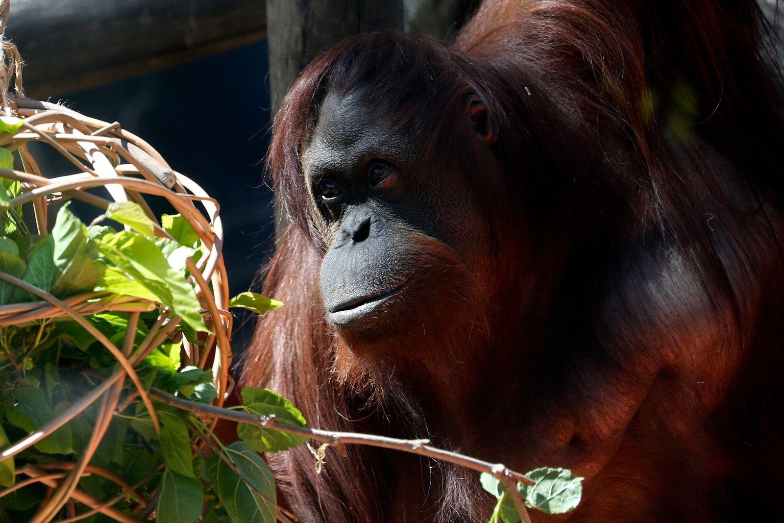 Sandra la orangután