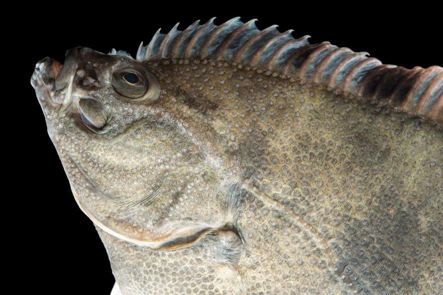 Con ojos asimétricos y cuerpos inclinados, los peces planos como esta platija estrellada son las criaturas más asimétricas del mundo.
