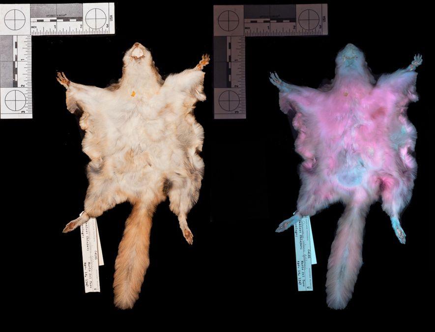 La piel de una ardilla voladora del sur (Glaucomys volans) bajo luz visible y luz ultravioleta (derecha) muestra la fluorescencia rosada en condiciones ultravioletas.