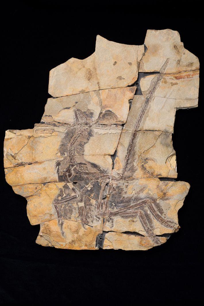El fósil del Serikornis sungei