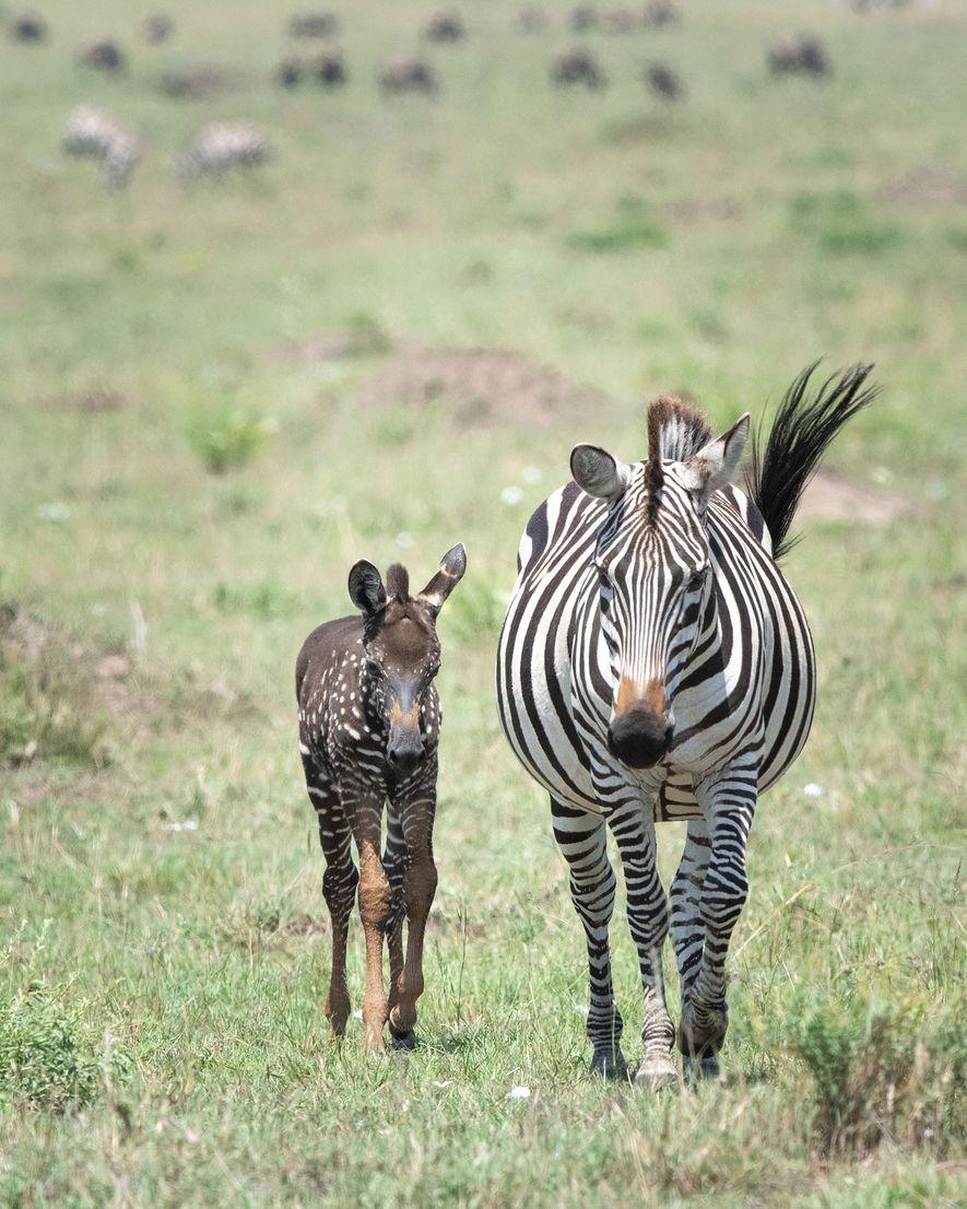Tira camina con su madre por la reserva nacional de Masái Mara, en Kenia, en una ...