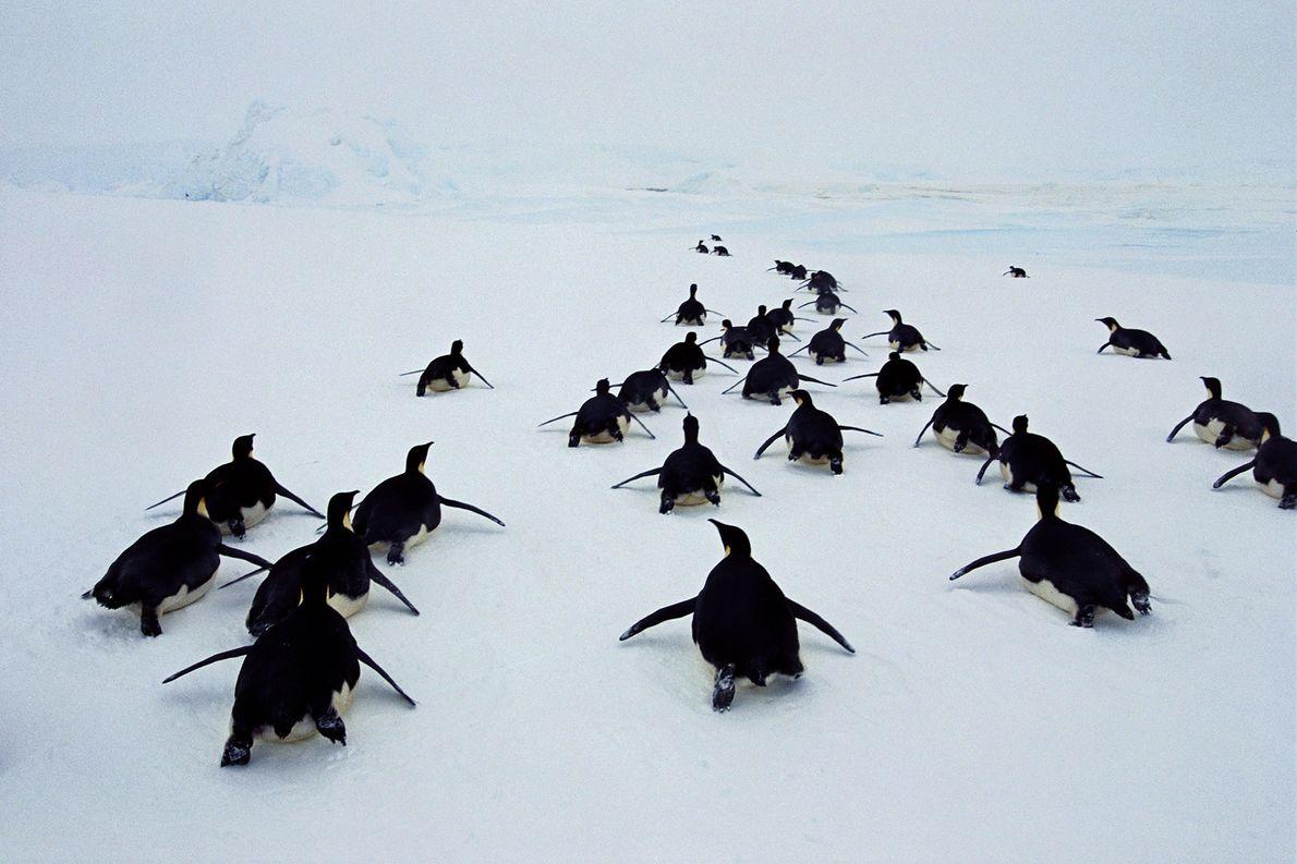 Los pingüinos emperador se deslizan al mar de Weddell en la Antártida.