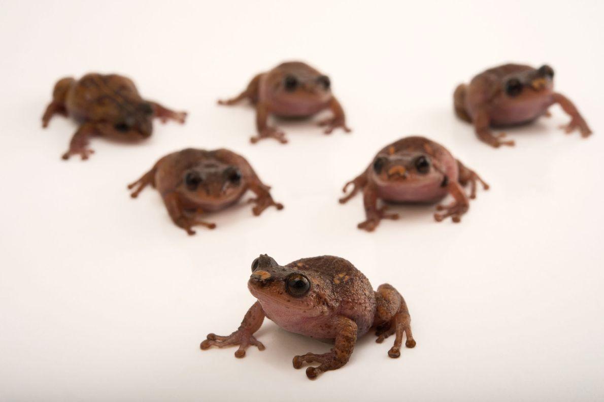 Especies de ranas vulnerables