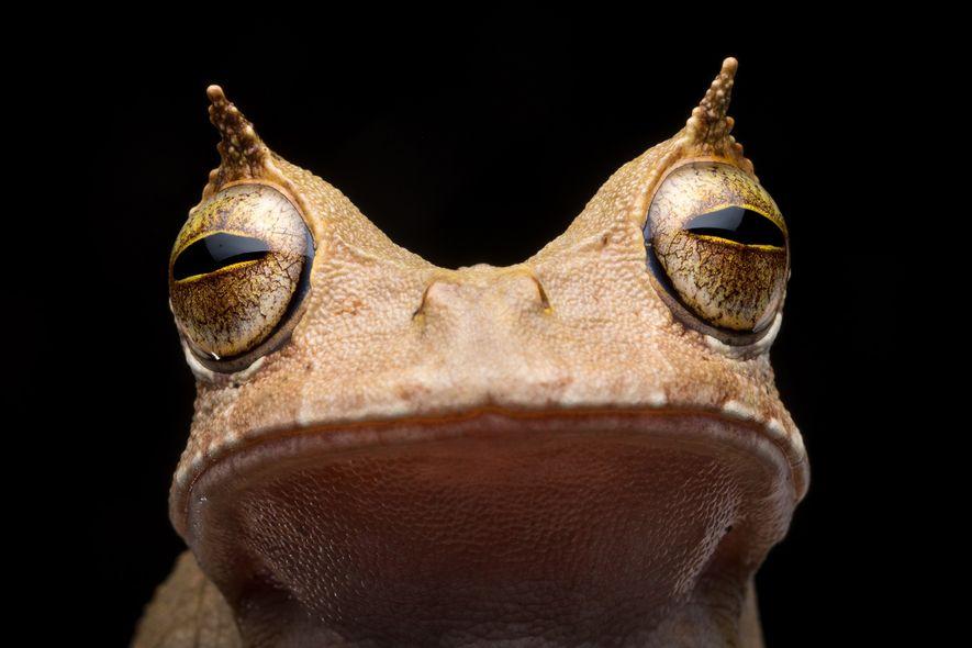 La rana marsupial cornuda no se veía en Ecuador desde 2005. Sus «cejas» con forma de cuernos y su capacidad de transportar sus huevos en una bolsa en su cuerpo, saltándose la etapa de renacuajos, la convierten en un animal muy raro.