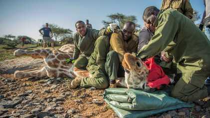 Los esfuerzos para salvar al animal más alto del mundo