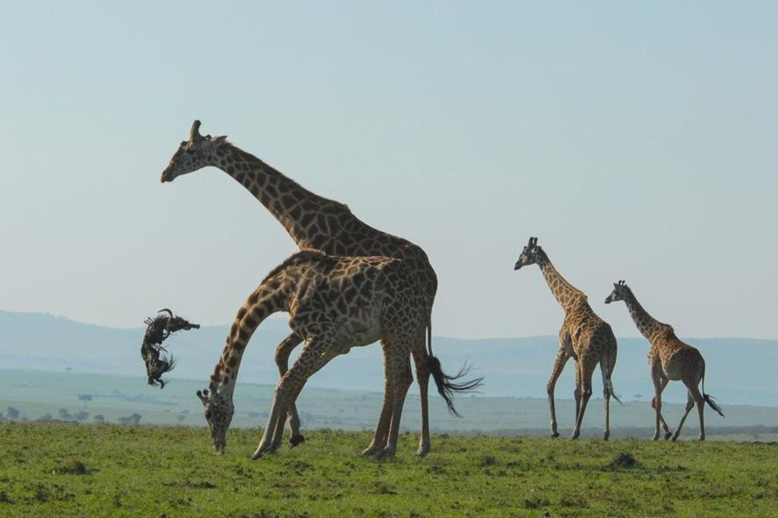Una jirafa macho
