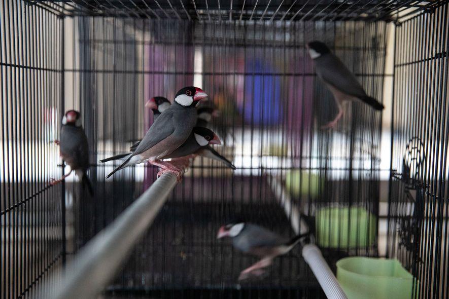 Los capuchinos arroceros de Java son un blanco popular del comercio nacional de fauna silvestre de ...
