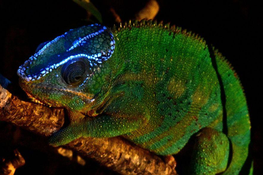 Un camaleón Furcifer pardalis fluorescente