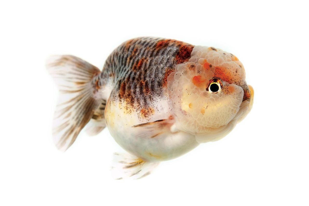 Carassius gibelio auratus