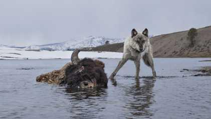 Fotos de animales salvajes sacadas con cámaras trampa