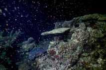 Corales Acropora
