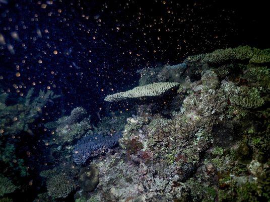 Los corales de la Gran Barrera australiana tienen dificultades para recuperarse