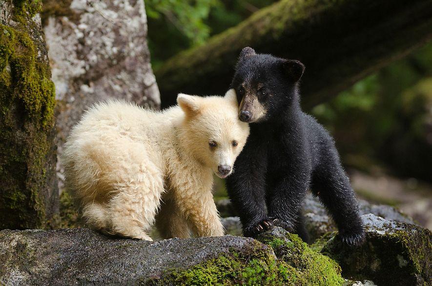Un osezno Kermode con su hermano. Durante muchos años, las Naciones Originarias mantuvieron en secreto la existencia de estos osos blancos. Los ancianos temían que, si el mundo sabía que existían, serían perseguidos y asesinados por cazadores de pieles y trofeos.