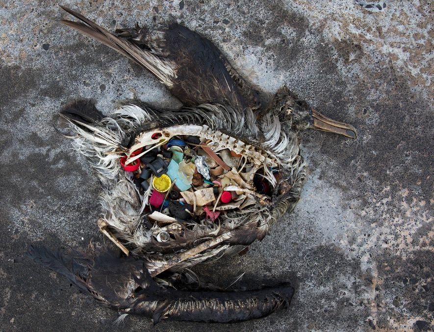 Este polluelo de albatros muerto se encontró con plástico en el estómago en el atolón de Midway en las islas de Sotavento de Hawái. El plástico marino puede ser peligroso para la fauna silvestre.