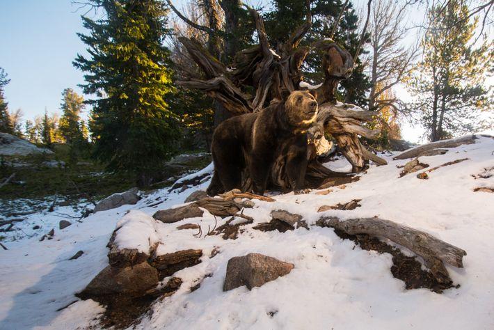 Un oso grizzly se come las piñas de un pino de corteza blanca