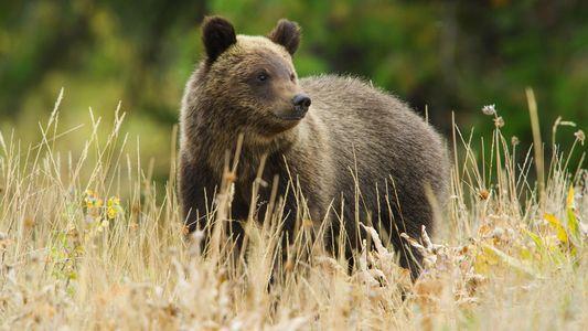 La osa grizzly 399