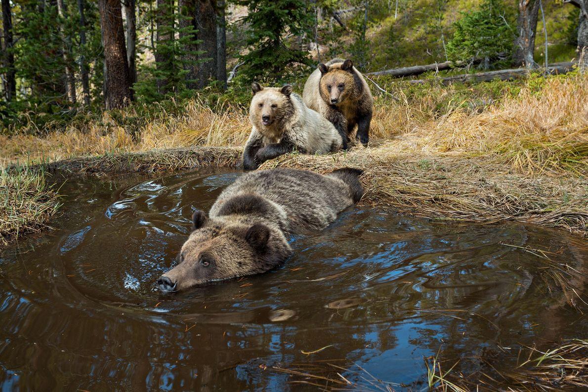 Osos grizzly bañándose