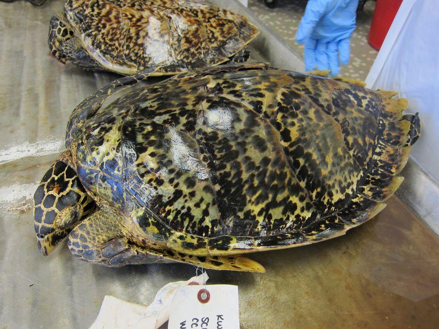 Las tortugas carey han sido cazadas por sus caparazones durante siglos. Aunque el comercio de las ...