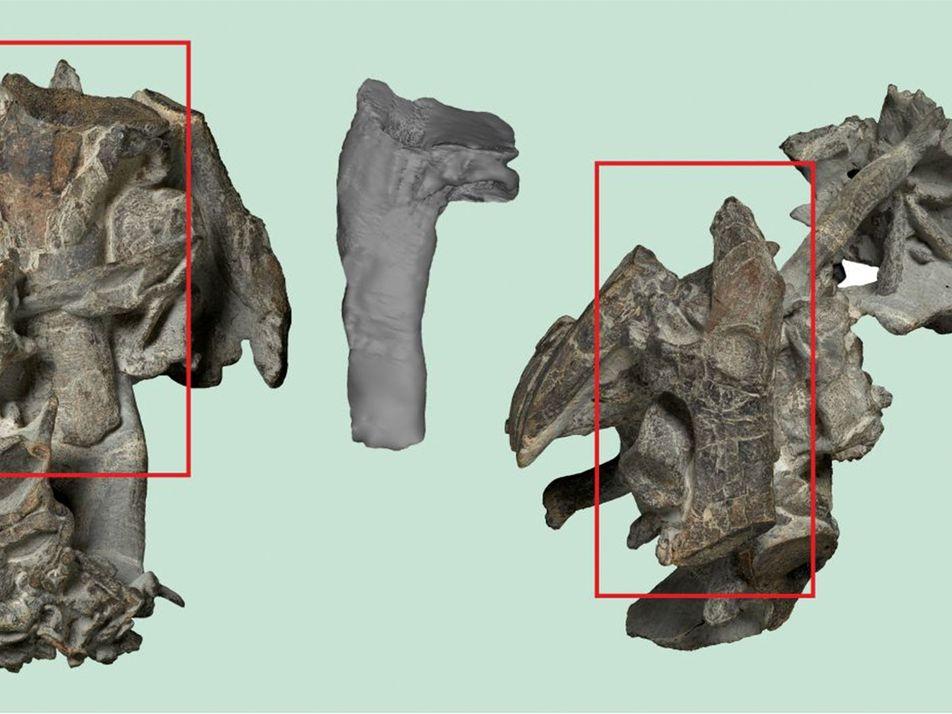 Fósiles de pingüinos gigantes de 55 millones de años