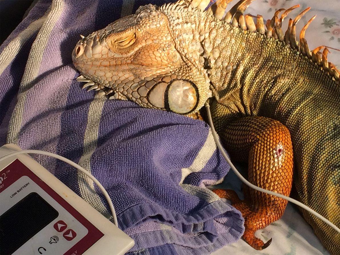 Godzilla toma medicamentos para el dolor, antibióticos, atención tópica para sus heridas y recibe cuidados complementarios. …