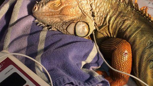 Godzilla, la iguana rescatada de Florida