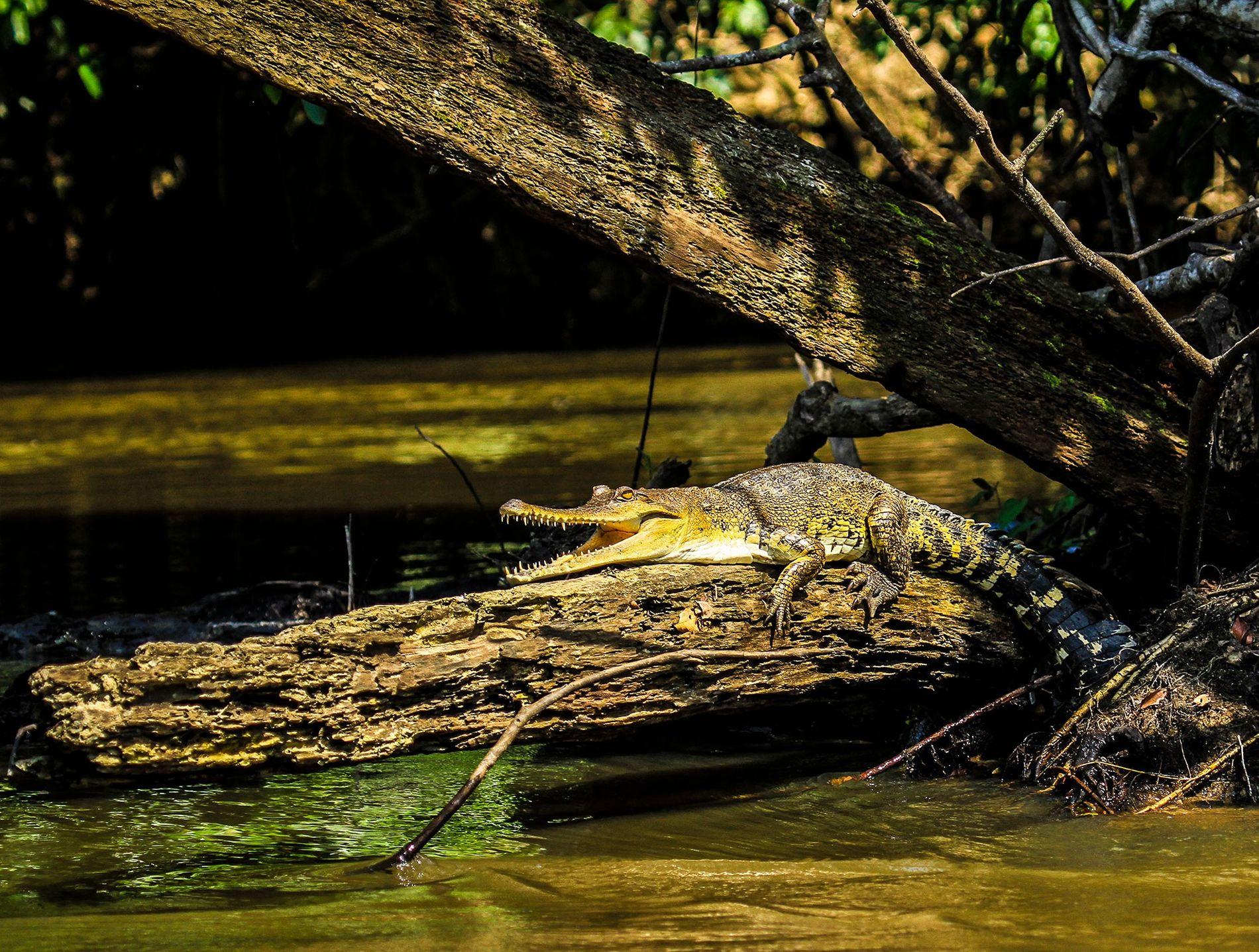 Cocodrilo hociquifino centroafricano