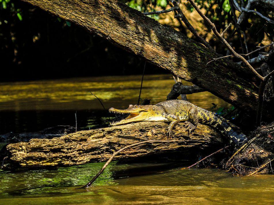 Descubren una nueva especie de cocodrilo oculta a plena vista