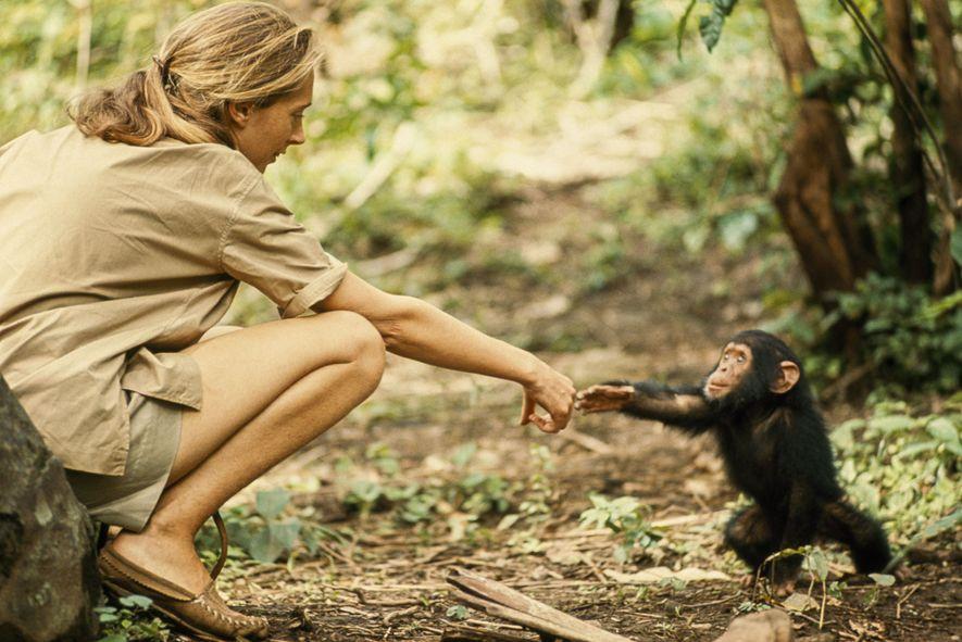 Un joven chimpancé llamado Flint extiende la mano para tocar a la etóloga Jane Goodall. Flint ...