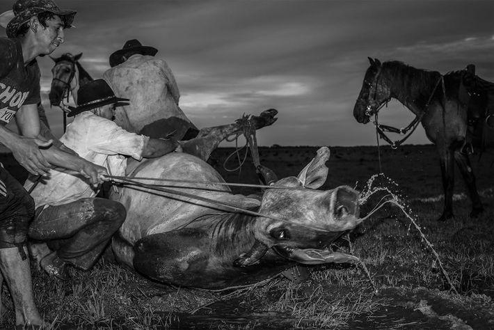 Vaca salvaje