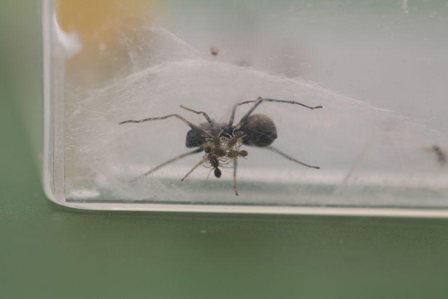 Un grupo de crías de araña, de tres días de edad, bajo su madre en su ...