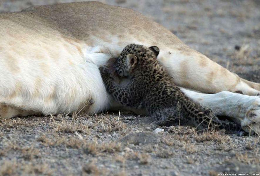 Cría de leopardo