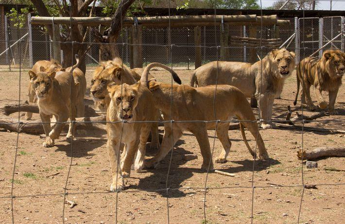 Leones en jaulas