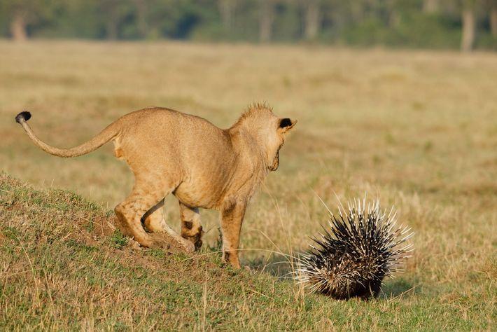 Un león caza un puercoespín