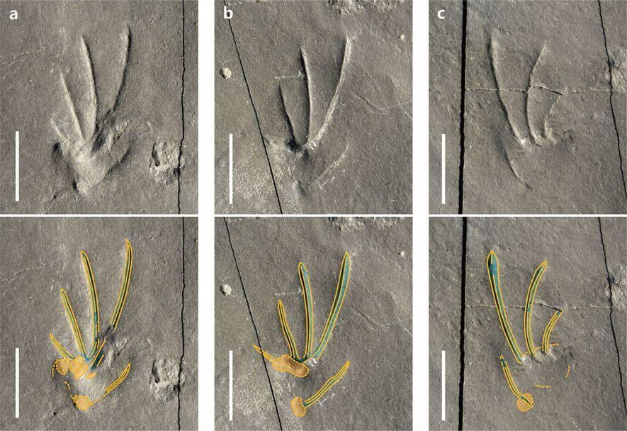 Como muchos lagartos modernos, el lagarto que dejó estas huellas tenía patas traseras asimétricas y un cuarto dedo de cada pie bastante largo. Los autores del estudio sugieren que el lagarto podría estar emparentado con las iguanas actuales.