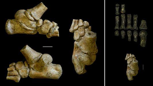 El pie de la «niña más antigua del mundo» muestra cómo se desplazaban nuestros ancestros