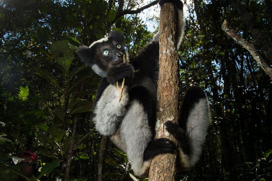 El indri, en grave peligro de extinción, ha evolucionado independientemente de los lémures durante 19 millones ...