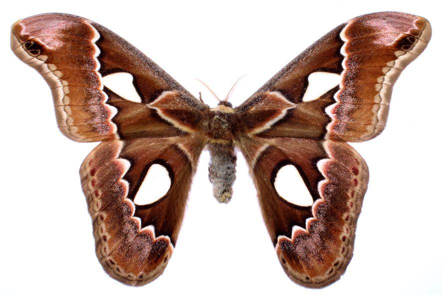 Las alas largas lobuladas, como las de la Rothschildia erysina, son otra estrategia de defensa contra ...