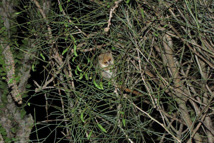 Un lémur ratón