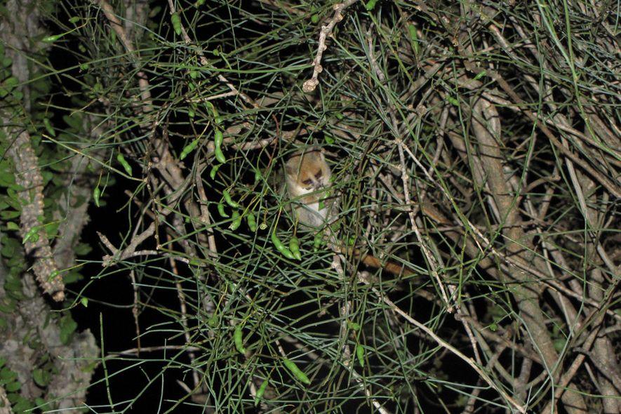 Un lémur ratón mastica una planta de su «jardín».