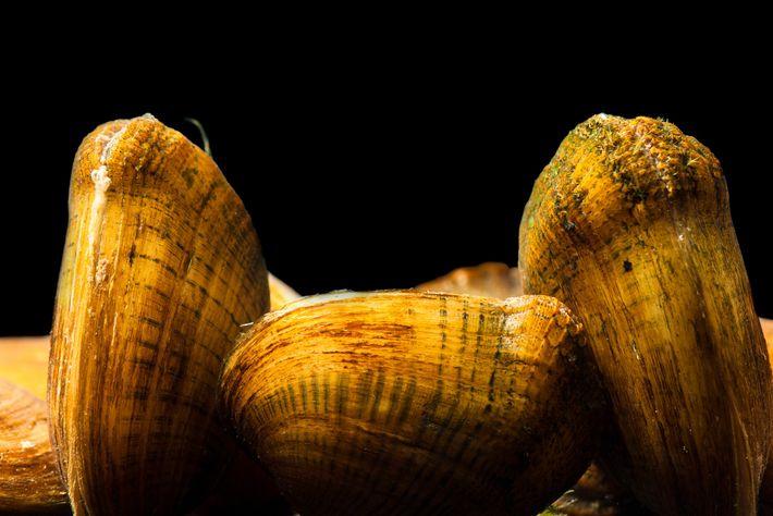 Epioblasma brevidens