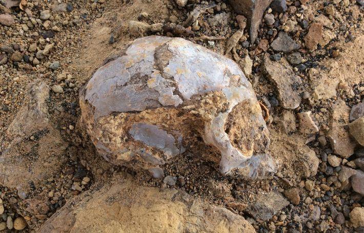 El cráneo del N. alesi