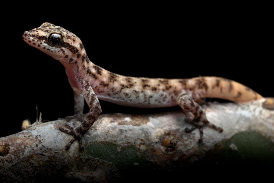 El gecko Phyllodactylus maresi, antaño considerado subespecie de otro gecko, se ha descrito como especie individual.