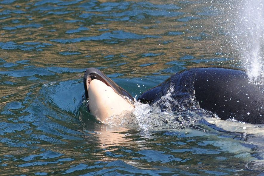 J35 carried her calf for at least 17 days and 1,000 miles, and researchers had worried ...