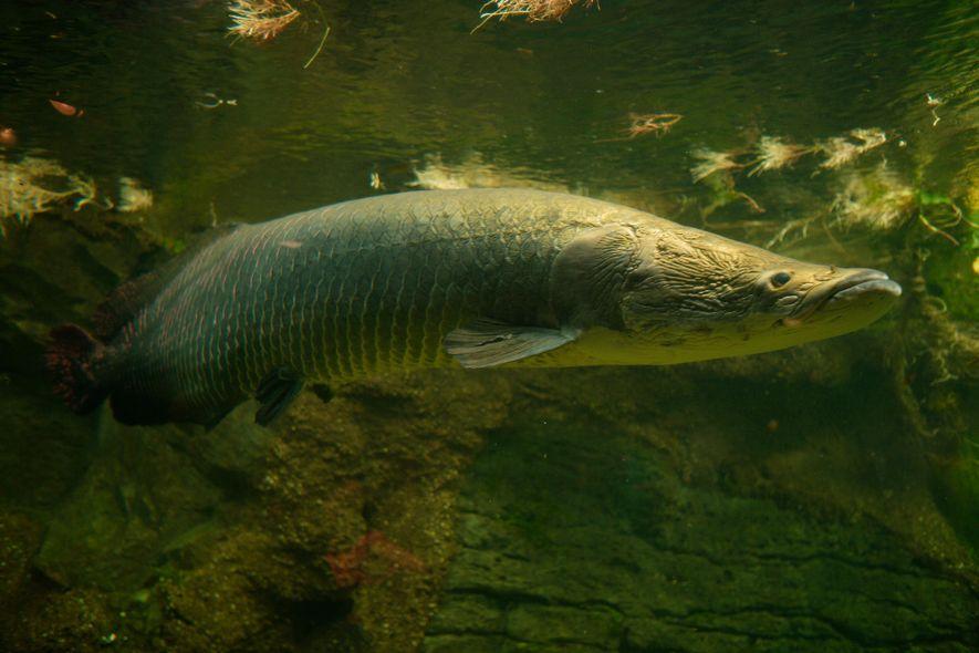 El arapaima, que habita la cuenca amazónica, es uno de los peces de agua dulce más ...