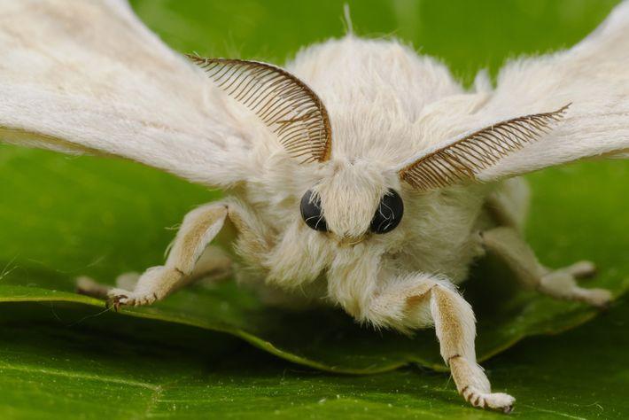 Mariposa de seda