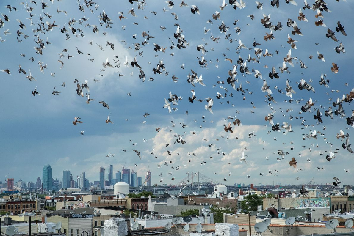 Pigeons circle over a loft in Bushwick, Brooklyn. Flyers' flocks can often number in the thousands.