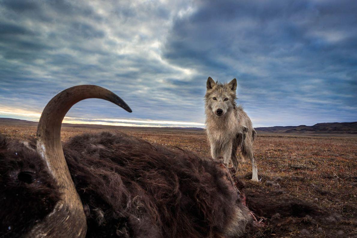 Un lobo ártico