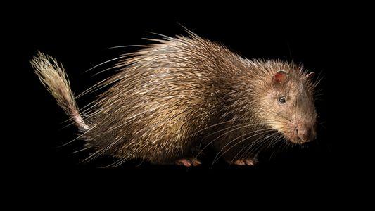 Los puercoespines: cazados por el contenido de sus estómagos