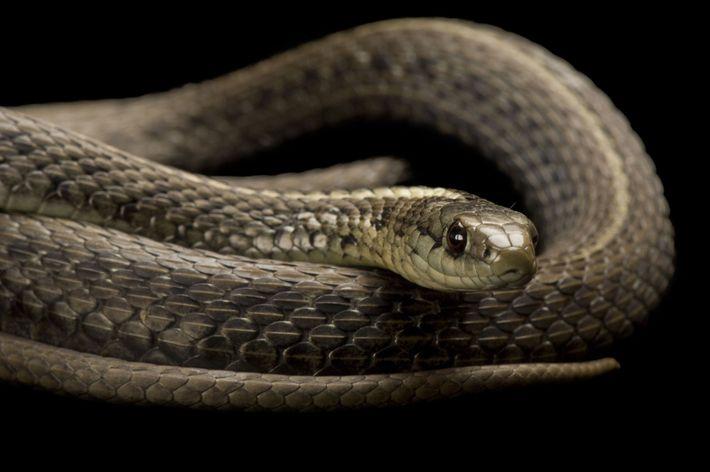 Una serpiente de jarretera