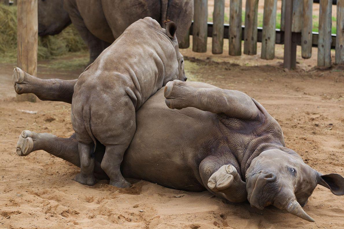 Una cría de rinoceronte blanco